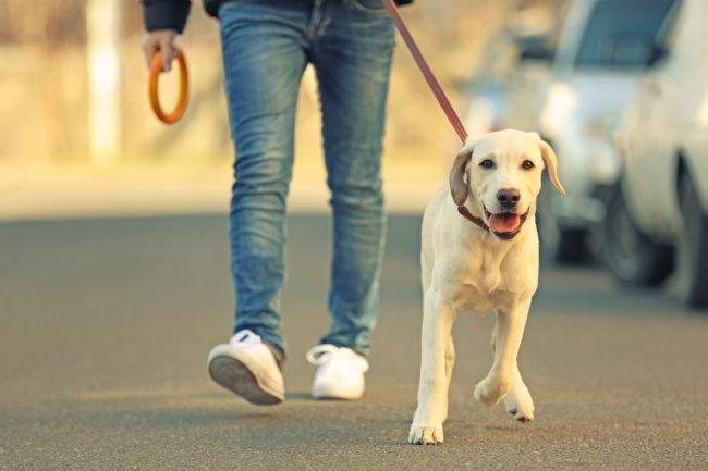 レトリーバー散歩