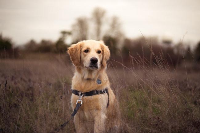 レトリーバー迷子犬