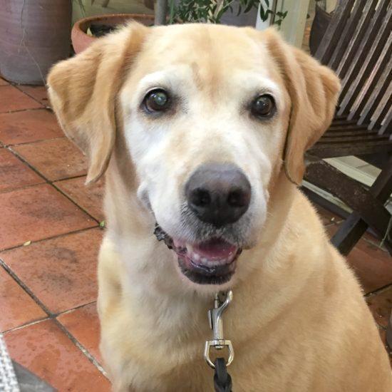 レトリーバー里親保護犬情報