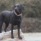 レトリーバー里親/保護犬情報