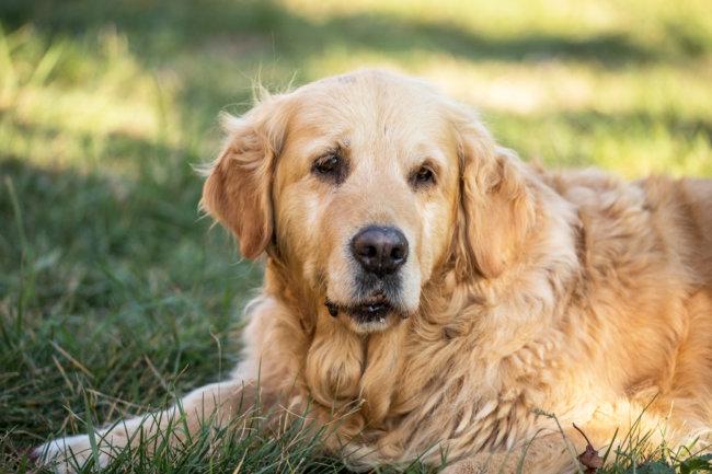 レトリーバー,シニア犬