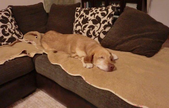 ラブラドールレトリーバー,里親保護犬
