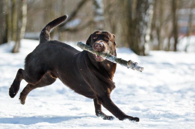 ラブラドール,雪遊び
