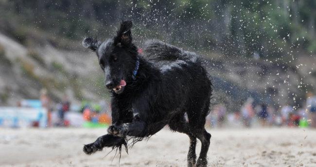 レトリーバー,水遊び