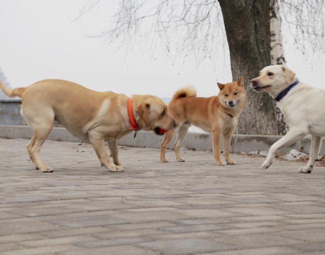 レトリーバー,柴犬
