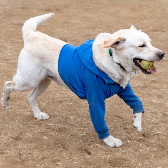 レトリーバー里親,保護犬