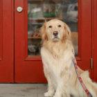 【取材・看板犬】大型犬の聖地!湘南のドッグカフェ&ラン〜看板犬はゴールデンのマーリー〜