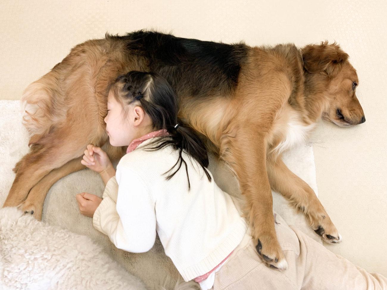 レトリーバー,セラピー犬