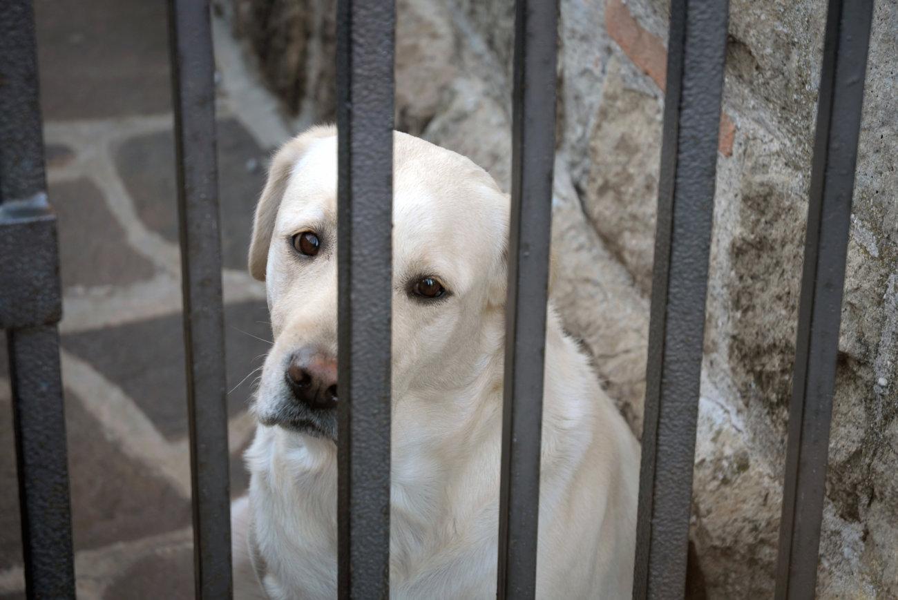 レトリーバー,保護犬