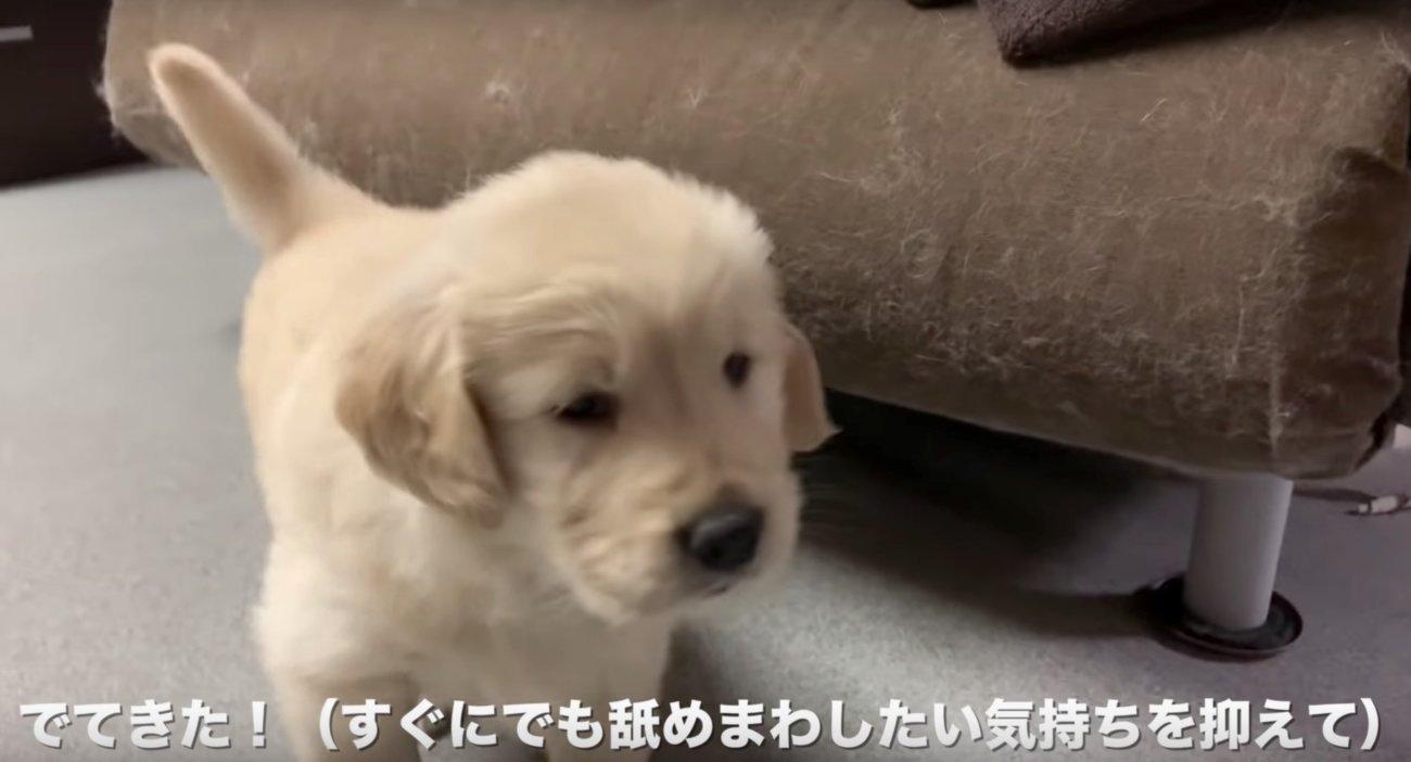 ゴールデンレトリーバー,子犬動画