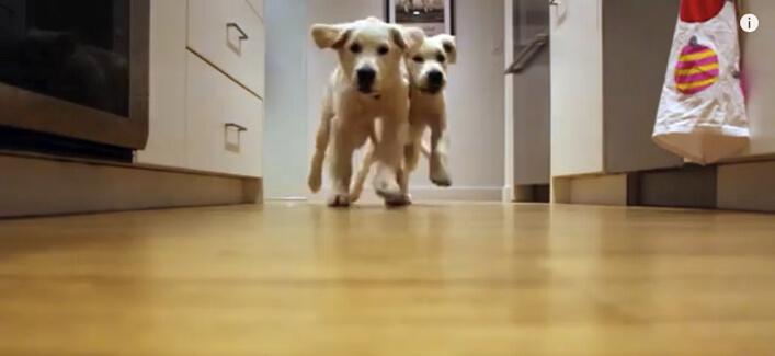 ゴールデンレトリーバー,子犬