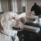 【3分間癒されっぱなし】ラブラドールと猫のじゃれあいが、笑えて癒されて幸せな気持ちになる【動画】