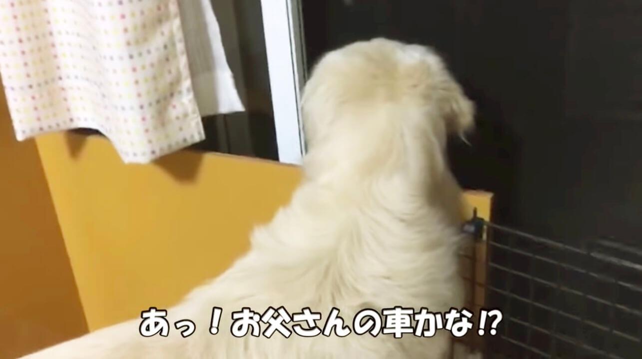 ゴールデンレトリーバー,動画