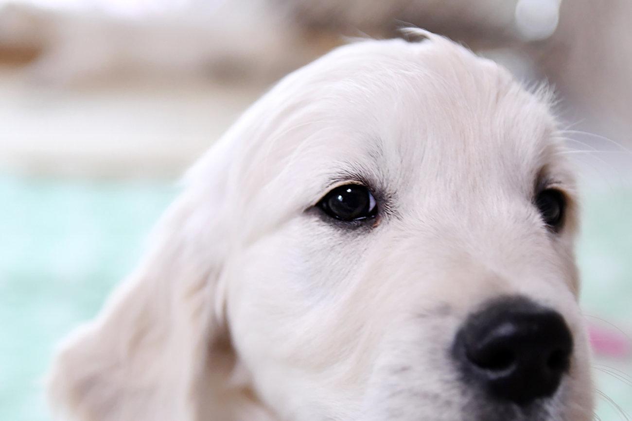 レトリーバー,子犬