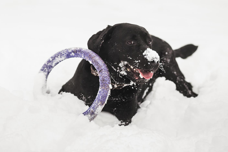 レトリーバー,雪遊び