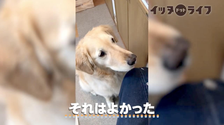 ゴールデン,動画,イッヌドットライフ