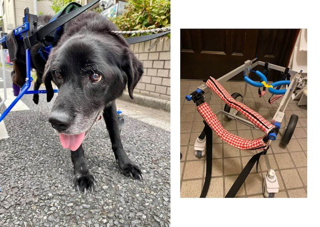 ラブラドール,犬用車椅子