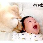赤ちゃんが生まれママを取られた…心配も束の間、本物の兄弟を超えるハッピーな関係に!【ラブラドール動画】